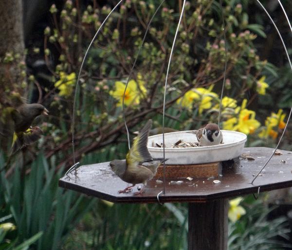 雨の日の餌台、カワラヒワとスズメちゃん・・・♪_a0136293_1546033.jpg