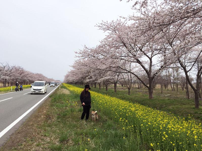 菜の花ロードのお花見_e0162117_11172052.jpg