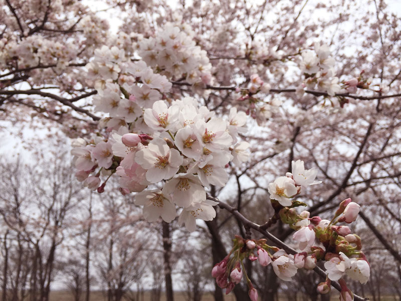 菜の花ロードのお花見_e0162117_1117523.jpg