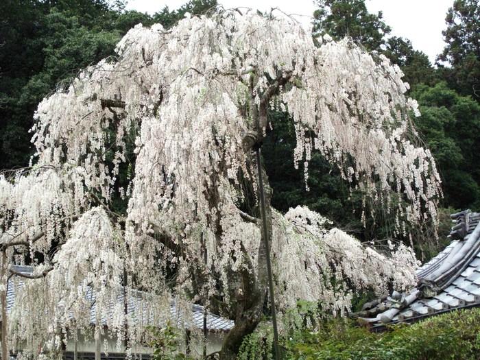吉野山 千本桜 & 京の遅咲き 桜旅 _d0150720_15284448.jpg