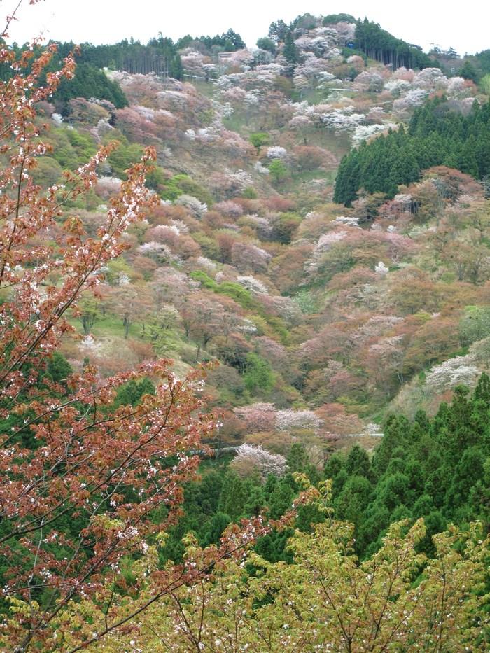 吉野山 千本桜 & 京の遅咲き 桜旅 _d0150720_17233039.jpg