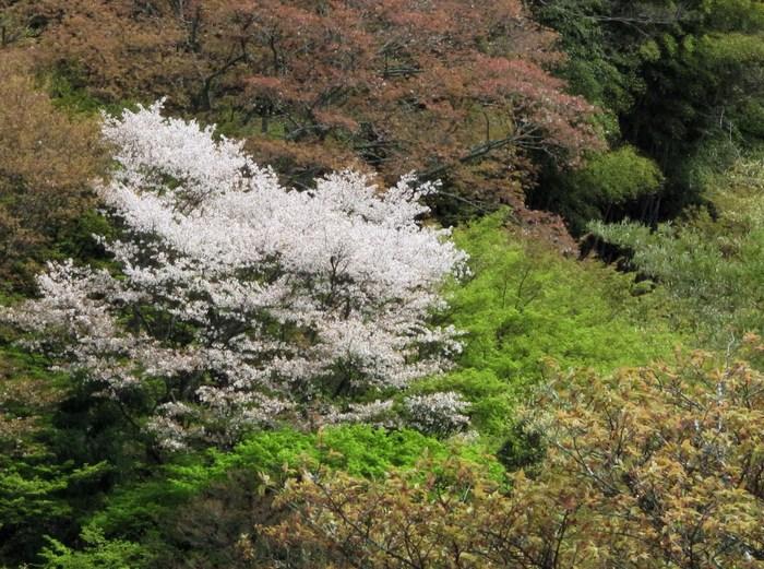 吉野山 千本桜 & 京の遅咲き 桜旅 _d0150720_17235661.jpg