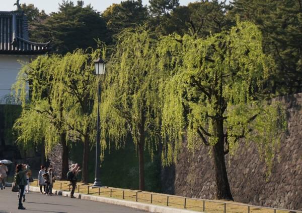桜に負けない新緑の柳_f0055131_10321818.jpg