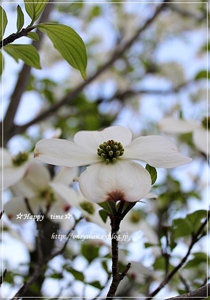 筍入りコロッケ弁当とハナミズキ☆白♪_f0348032_18511747.jpg