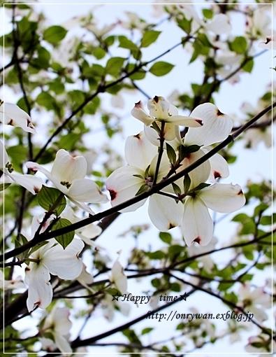 筍入りコロッケ弁当とハナミズキ☆白♪_f0348032_18512636.jpg