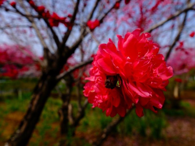 春爛漫 FUJIFILM X30スーパーマクロ_f0050534_08201273.jpg