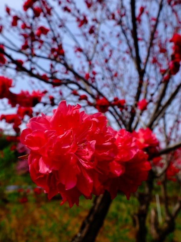 春爛漫 FUJIFILM X30スーパーマクロ_f0050534_08201695.jpg