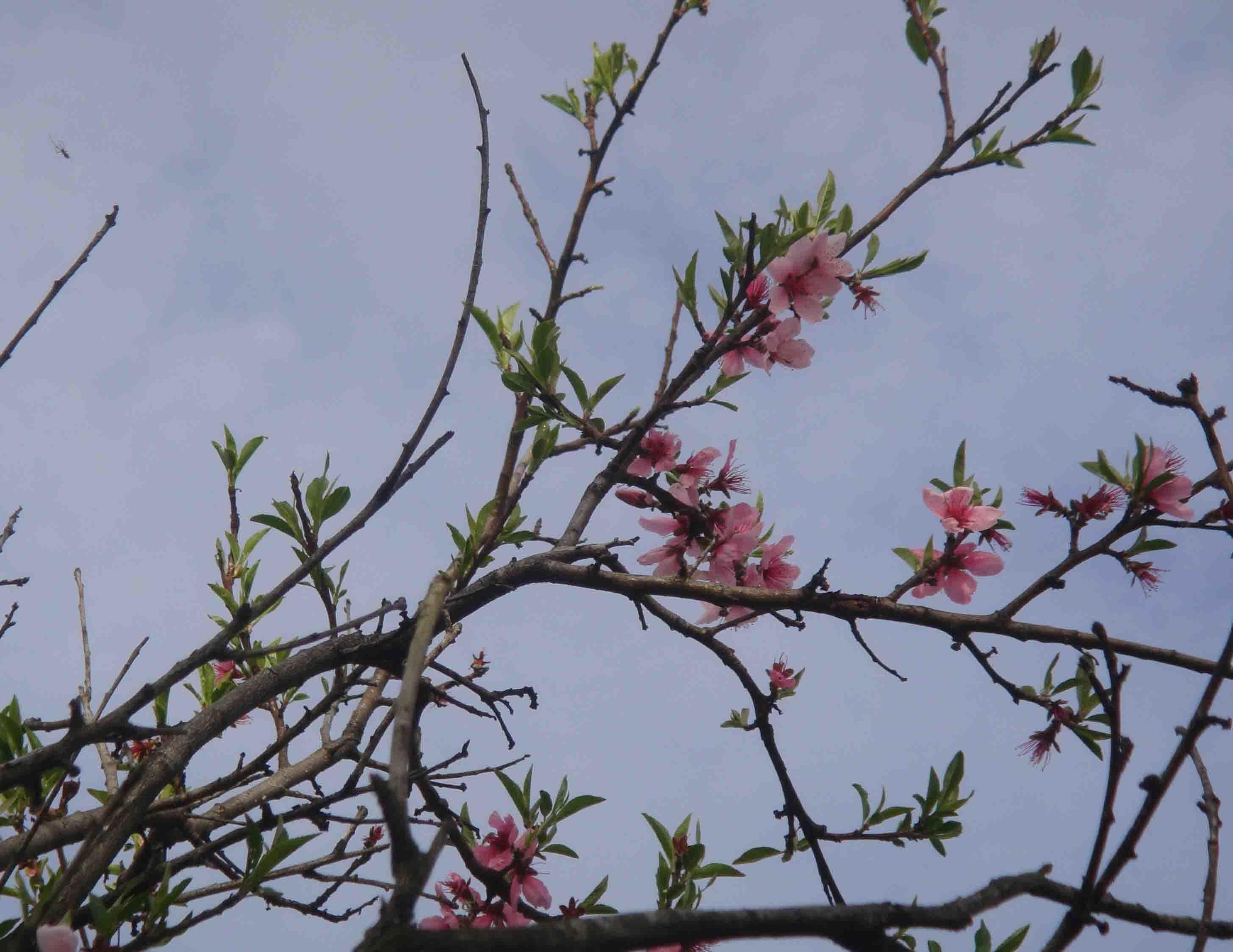 モモが咲き始めた。_e0226943_22375683.jpg