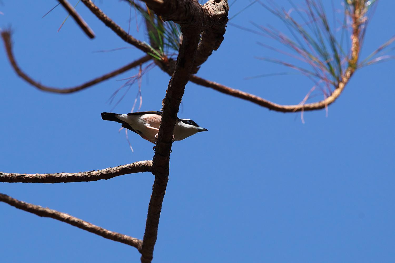 アカバネモズチメドリ White-browed Shrike-Babbler_d0013455_16114442.jpg
