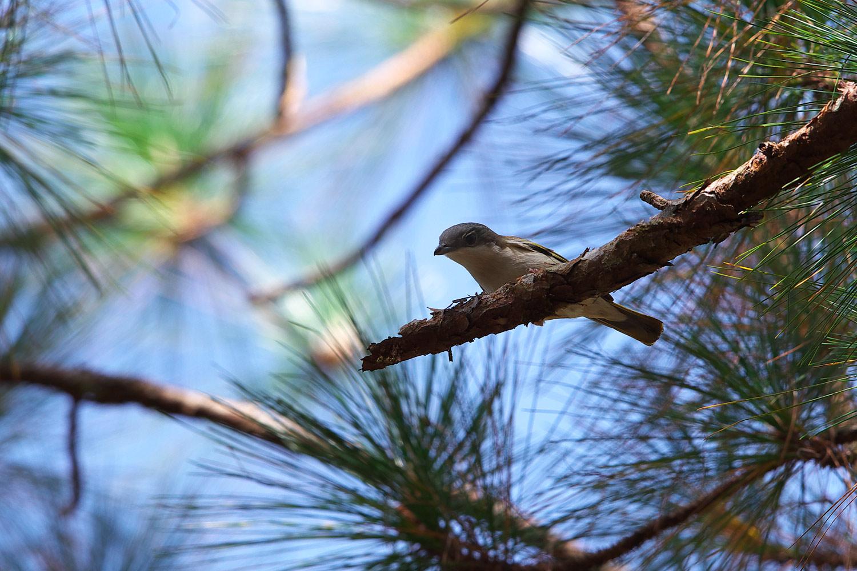 アカバネモズチメドリ White-browed Shrike-Babbler_d0013455_1611579.jpg