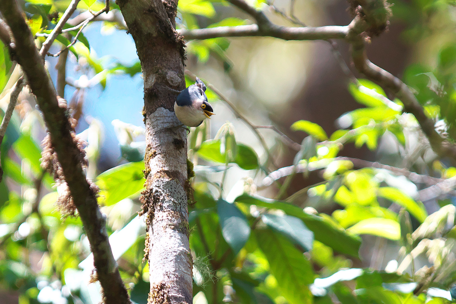 キバシゴジュウカラ Yellow-billed Nuthatch_d0013455_1632639.jpg