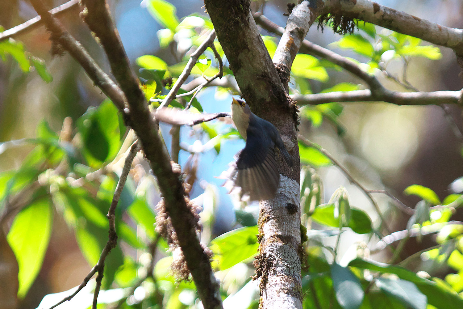 キバシゴジュウカラ Yellow-billed Nuthatch_d0013455_1634789.jpg