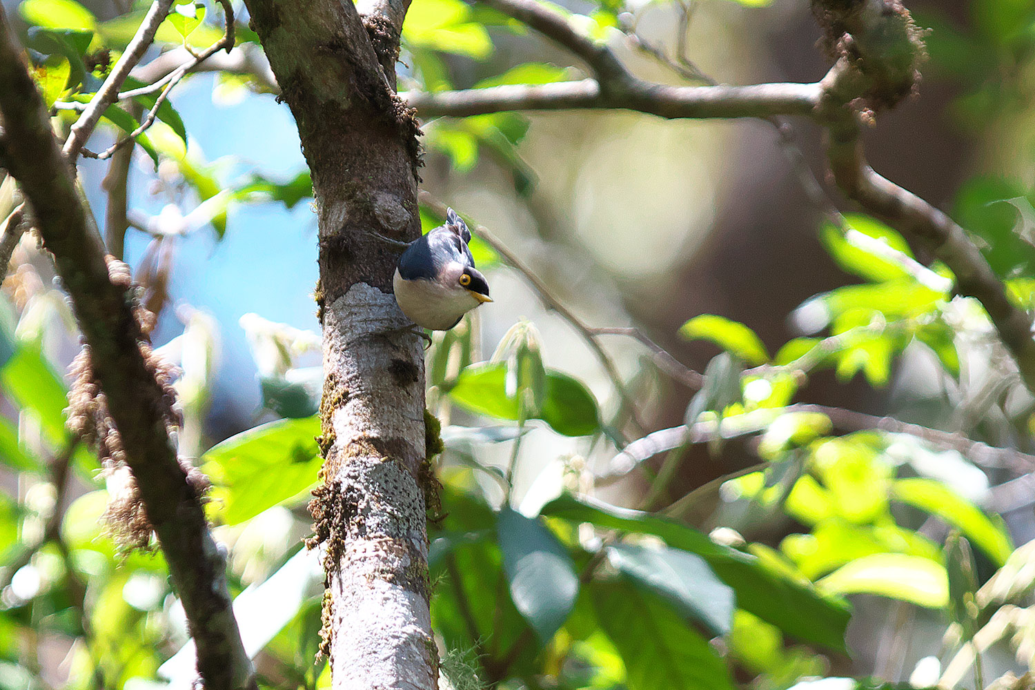 キバシゴジュウカラ Yellow-billed Nuthatch_d0013455_163952.jpg