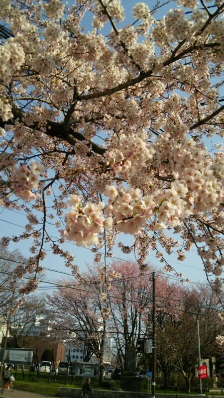 函館、桜開花_b0106766_18533596.jpg