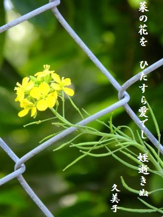 菜の花_e0003966_14105687.jpg