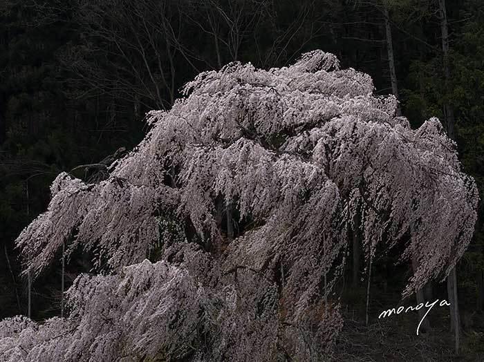 安曇野の枝垂桜_c0085877_06291616.jpg