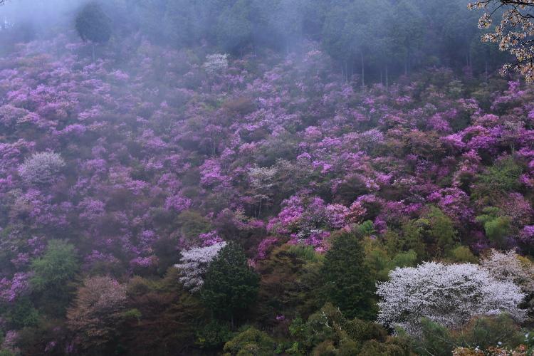 西明寺のミツバツツジ_e0051888_222903.jpg