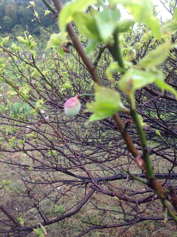 福山でChardonnay植樹!!_e0202291_6502048.jpg
