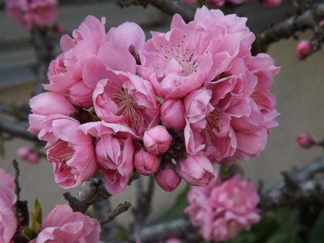 庭の花桃が咲きました_f0019498_1622050.jpg