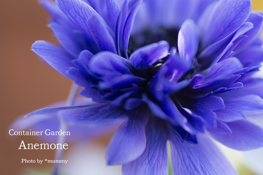 気持ちのいい朝に、ベランダコンテナガーデンのお花達_d0154507_09335032.jpg