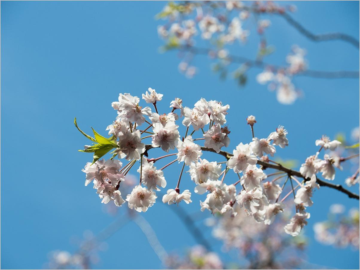 庭の春に spring time #OLYMPUS OM-D E-M5II_c0065410_21405615.jpg