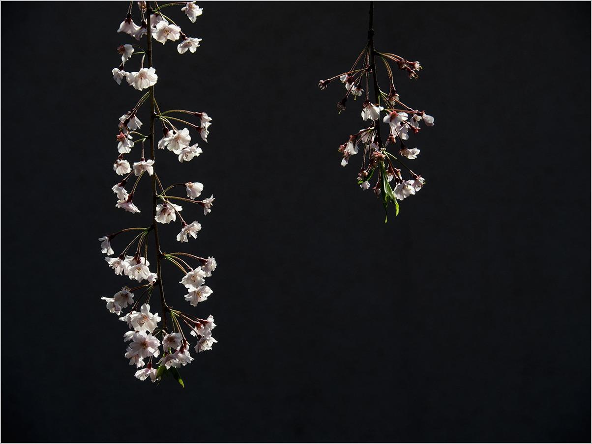 庭の春に spring time #OLYMPUS OM-D E-M5II_c0065410_2228590.jpg