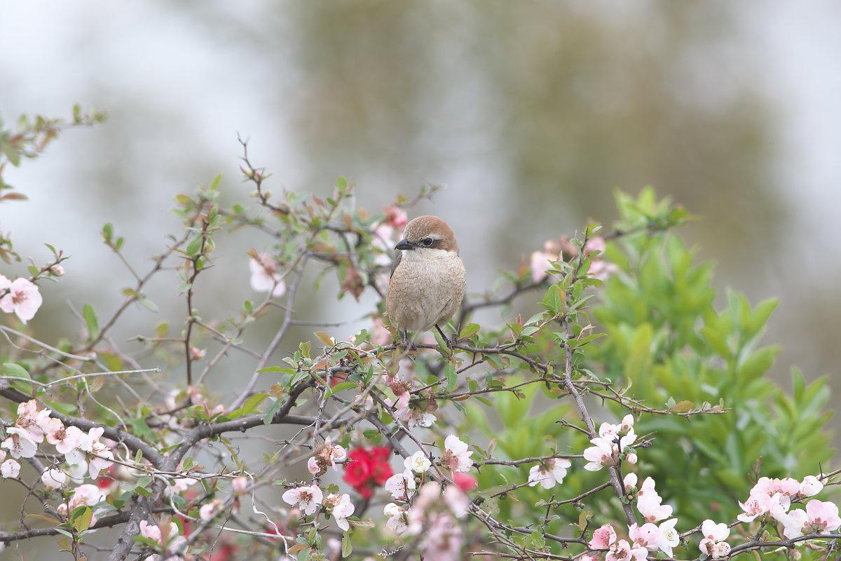 ボケの花園のモズ(2)_d0125872_0162685.jpg
