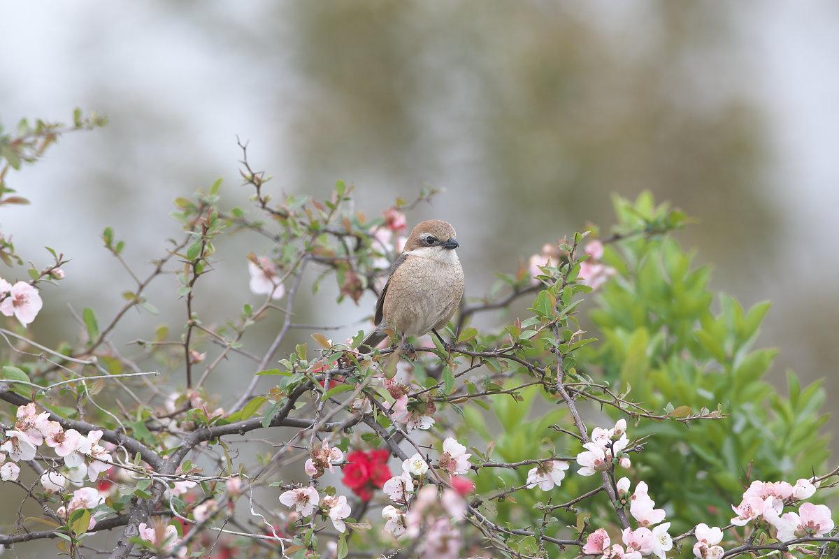 ボケの花園のモズ(2)_d0125872_0162919.jpg