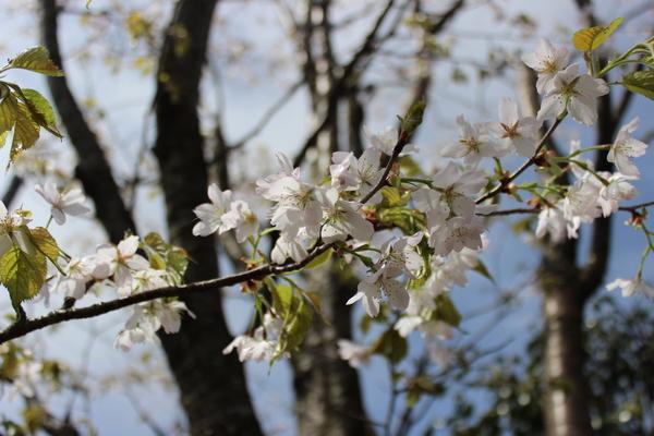 草原の風の桜_e0262382_11484169.jpg