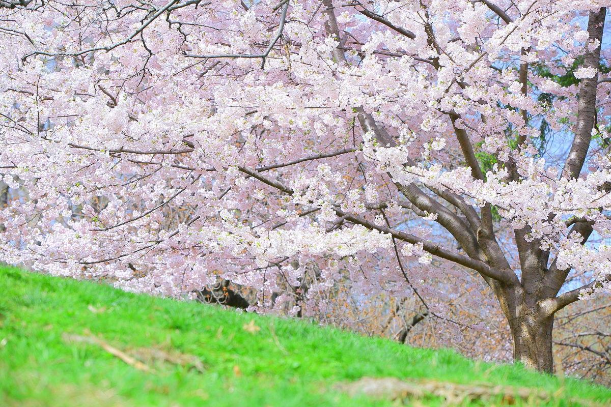 彼も今年の桜を見れたのだろうか?_a0274805_22335411.jpg