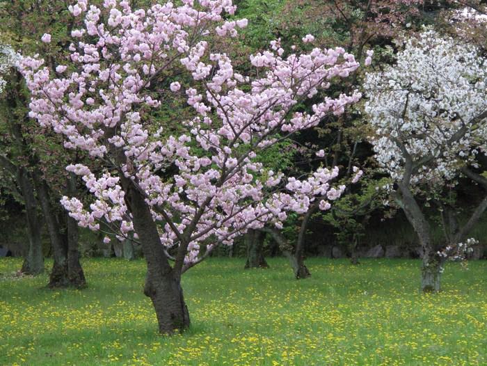 吉野山 千本桜 & 京の遅咲き 桜旅 (2)_d0150720_1001670.jpg