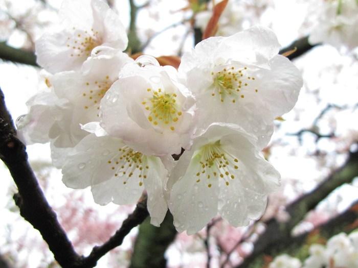 吉野山 千本桜 & 京の遅咲き 桜旅 (2)_d0150720_9311624.jpg