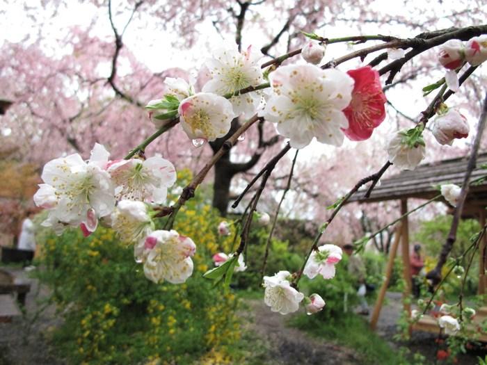 吉野山 千本桜 & 京の遅咲き 桜旅 (2)_d0150720_9313229.jpg