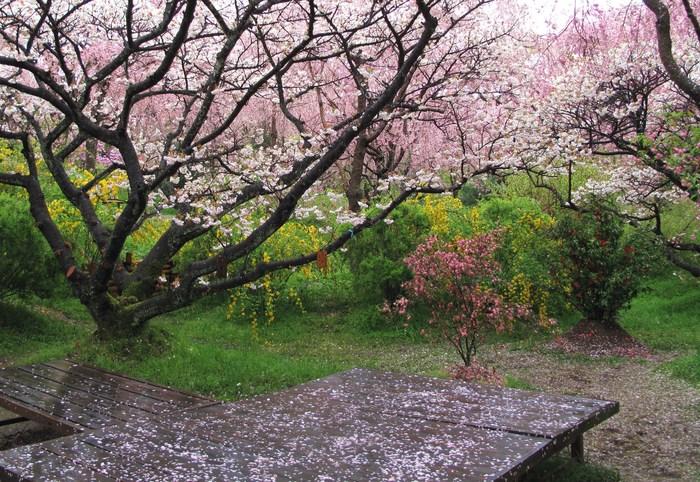 吉野山 千本桜 & 京の遅咲き 桜旅 (2)_d0150720_931593.jpg