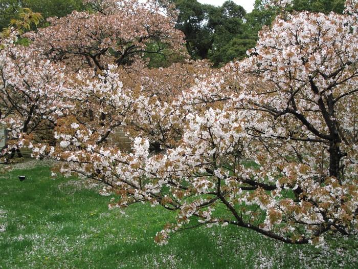 吉野山 千本桜 & 京の遅咲き 桜旅 (2)_d0150720_9512412.jpg