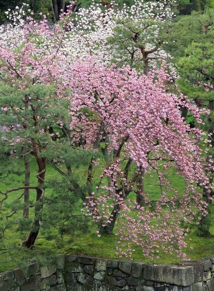 吉野山 千本桜 & 京の遅咲き 桜旅 (2)_d0150720_959541.jpg