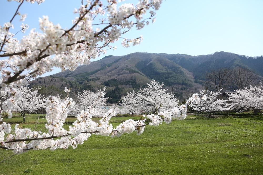 桜花_c0111229_19231973.jpg