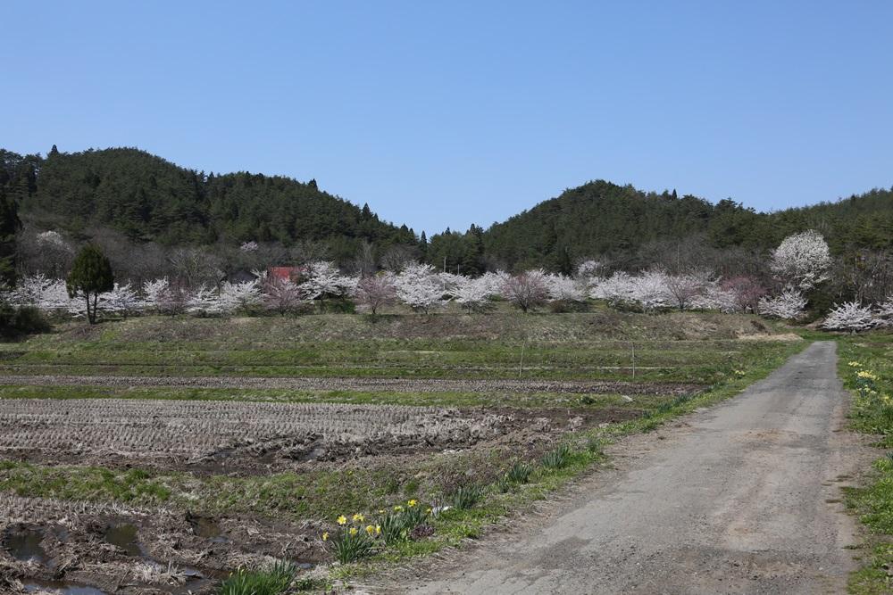桜花_c0111229_1923432.jpg