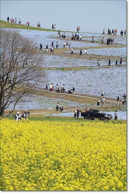 ひたち海浜公園(2)・・・チューリップとネモフィラ(取り急ぎです~)_b0053765_21504940.jpg