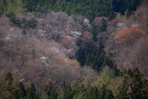 桜シーズン到来_f0075075_16554678.jpg