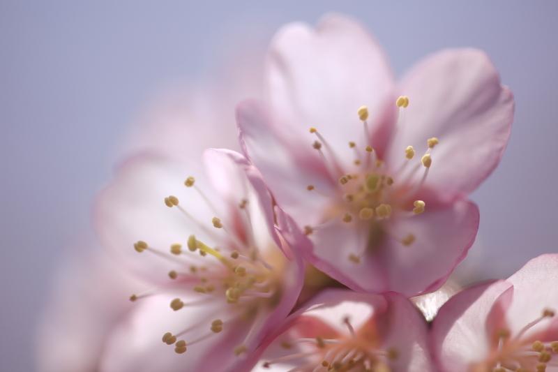 桜シーズン到来_f0075075_1818434.jpg