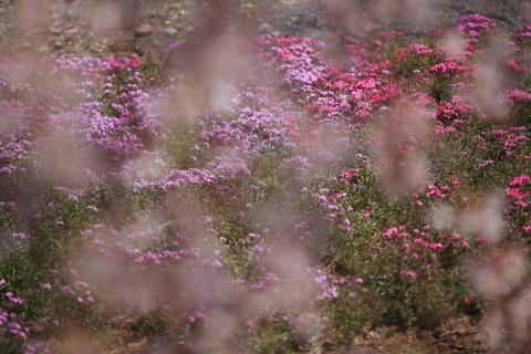 桜シーズン到来_f0075075_18193021.jpg