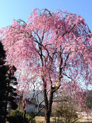 隣のお庭は花盛り_d0027486_7231653.jpg