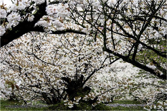 仁和寺・御室桜2_d0111087_05173486.jpg