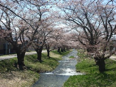 桜が咲き始めましたよ!_a0096989_2255127.jpg