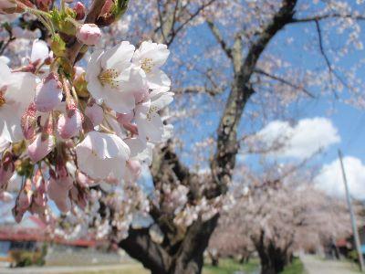 桜が咲き始めましたよ!_a0096989_2261479.jpg