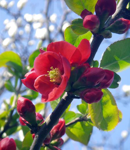 白木蓮と木瓜の花♪_a0136293_16143615.jpg