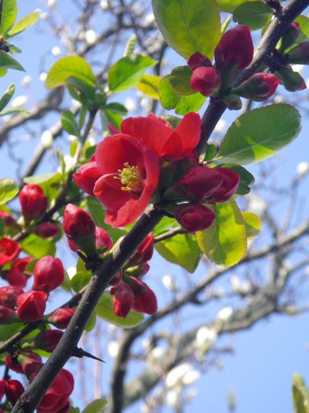白木蓮と木瓜の花♪_a0136293_17215576.jpg
