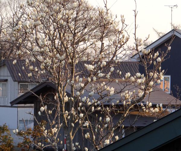 白木蓮と木瓜の花♪_a0136293_1815746.jpg