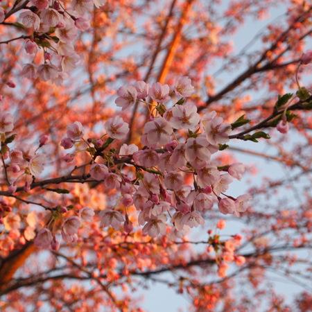 桜が咲いた_a0292194_22244599.jpg